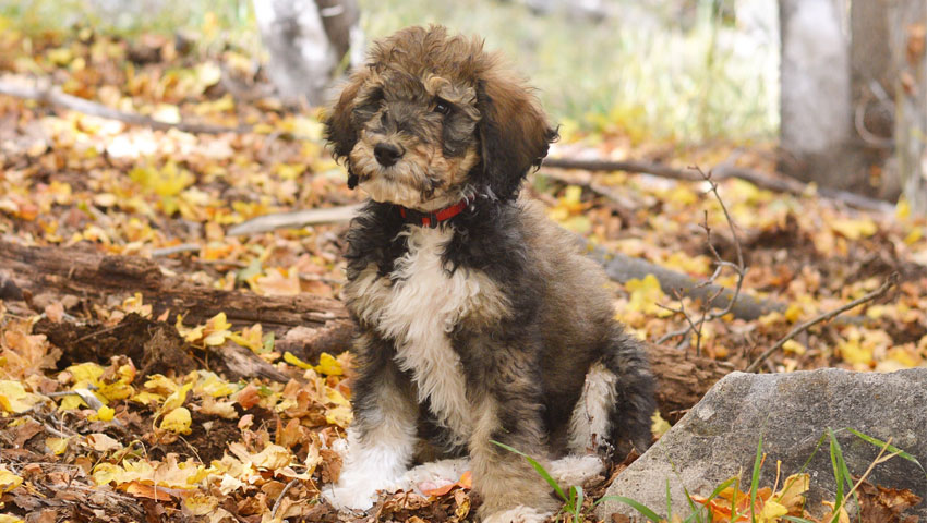 Mini Bernedoodle Puppies By Ivy Blue Doodles Premium
