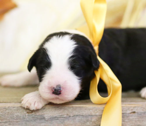 Buying A Mini Bernedoodle Or Sheepadoodle Puppy In Virginia